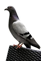 Grey Pigeon - White Background
