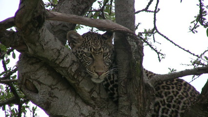 leopard on a tree facing the camera