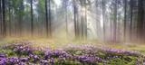 Magic Carpathian forest at dawn - 70620136