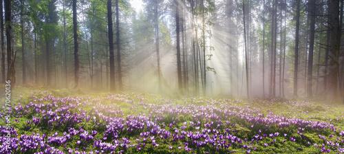 Leinwandbild Motiv Magic Carpathian forest at dawn