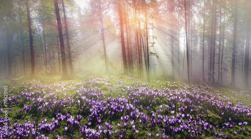 Foto op Plexiglas Krokussen Magic Carpathian forest at dawn