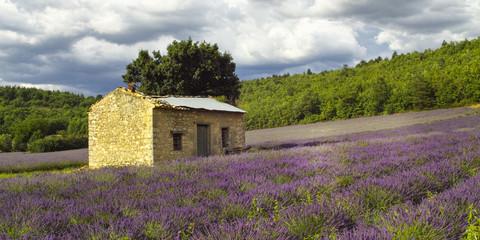Schuppen im Lavendelfeld