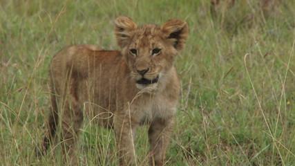 lion cub lost in tall grass