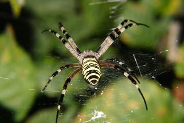 ragno vespa