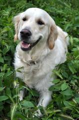 Happy Dog Golden Retriever