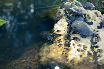family of small turtles in the city pond