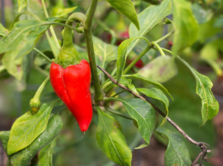 One ripe red jalapeno pepper growing on plant