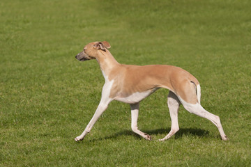 elegant greyhound pacing