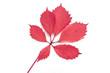 feuille rouge isolée sur fond blanc