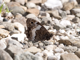 Grayling butterfly - hipparchia