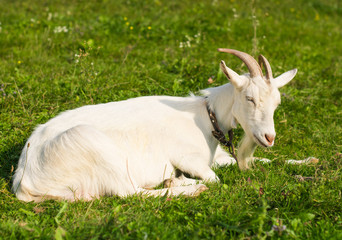 Portrait of a goat on a green meadow.