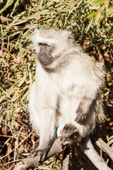 A portrait of a wild Vervet Monkey