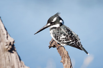 A wild Pied Kingfisher perched on a branch above a river