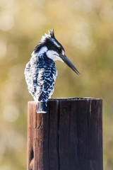 A wild Pied Kingfisher perched on the top of a wooden pole