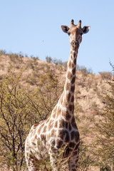 A lone wild Giraffe standing in front of a mountain