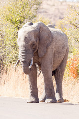 A large wild African Elephant standing in the road