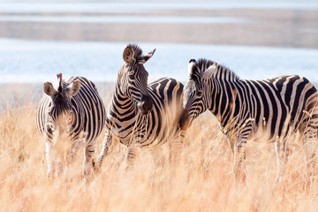 A small herd of wild Burchells Zebra grazing near a lake