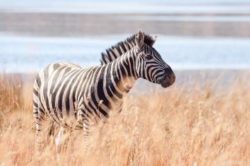A wild Burchells Zebra grazing peacefully near a lake