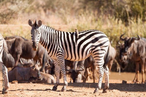 In de dag Zebra A wild Burchells Zebra standing amongst a herd of wildebeest