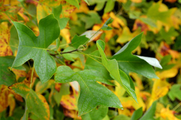 Tulpenbaum Herbst Blätter