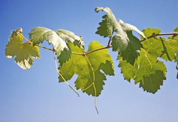 Ein Weintraubenzweig mit Blättern und Ranken