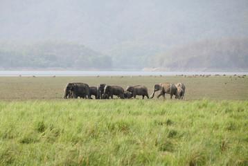 Elephants grazing in the grassland of Dhikala