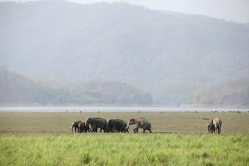Elephants grazing in the beautiful grassland of Dhikala