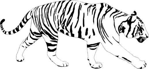 Tiger illustration on white background