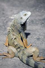 Green male iguana
