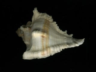 Морская ракушка на черном фоне