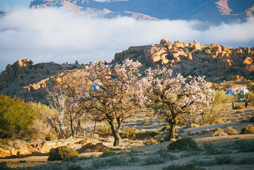 Blooming almond in Tafraout, Morocco...