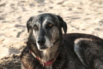 Adult female mongrel dog on sand beach background