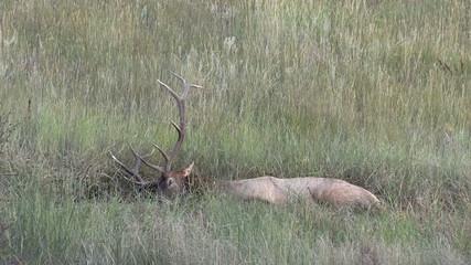 Bull Elk in Wallow