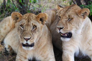 Lioness - Safari Kenya