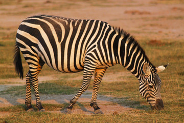 Munching Zebra - Safari Kenya