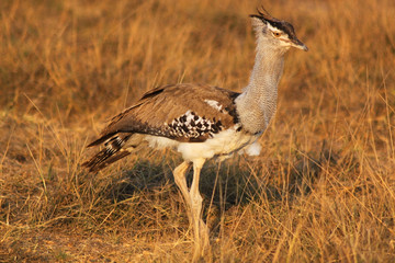 Kori Bustard - Safary Kenya