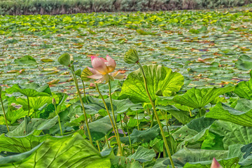 Lotus green area pond