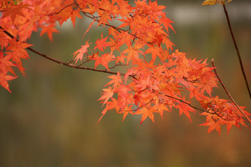 秋の紅葉で感じる四季 Autumn Leaves