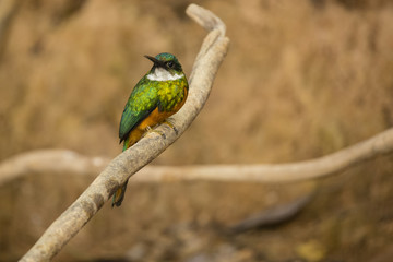 Male Jacomar, Turned Head, Perched on Branch