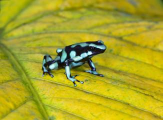 green & black poison dart frog , sarapiqui, costa rica