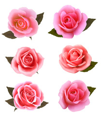 Set of beautiful pink roses. Vector.