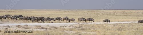 Foto op Canvas Zebra Gnu