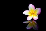 Plumeria flower on a black background