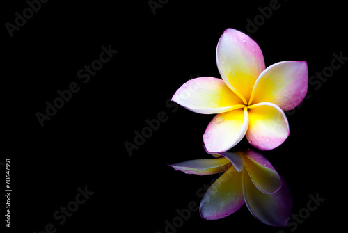 Tuinposter Frangipani Plumeria flower on a black background