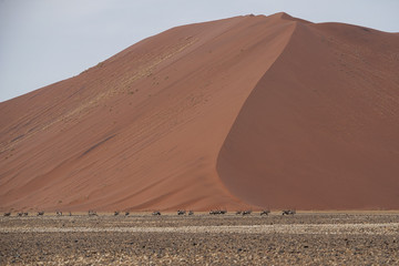 Orici nel deserto