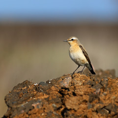 Wheatear sitting on a stone surface.