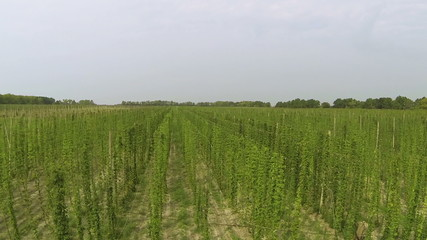 Up  over green  field  of hop.landscape. Aerial view