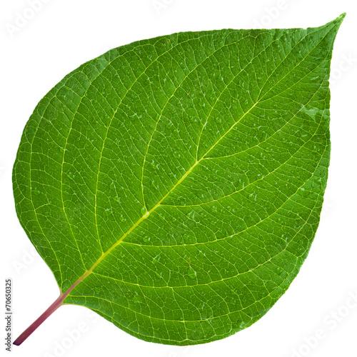 Green leaf - 70650325