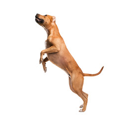 Staffordshire Terrier isolated on white background