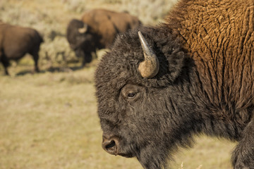 Buffalo Bison in Lamar Valley Yellowstone